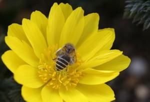 フクジュソウとミツバチ