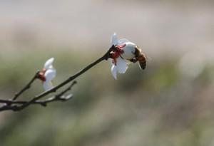 梅に隠れるミツバチ