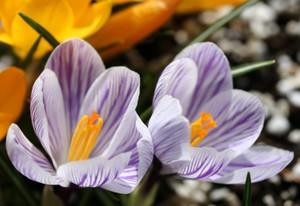 薄紫のクロッカス