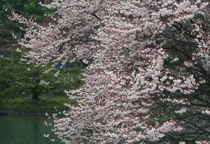 雨に負けない桜