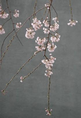 しだれ桜の枝ひとつ