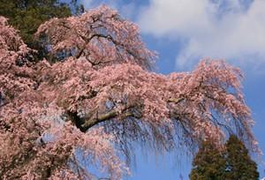 古寺のしだれ桜