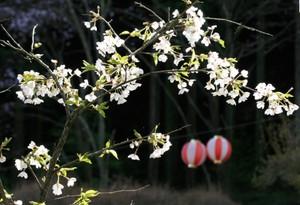 桜の若木とぼんぼり