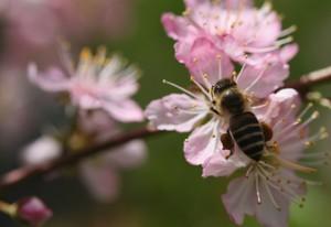 庭梅とミツバチ
