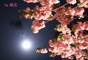 八重桜と満月