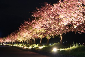 ライトアップの桜街道