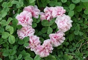 八重桜のハートマーク