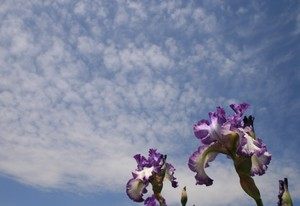 空を見上げるジャーマンアイリス