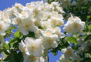 花いっぱいのバイカウツギ