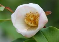 シャラの花