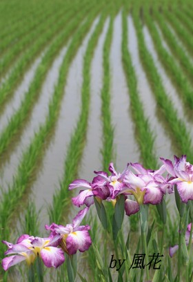 花菖蒲と田んぼ