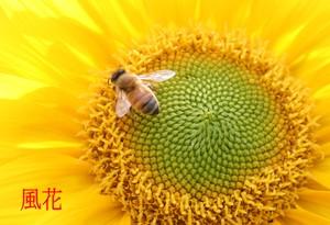 ひまわりとミツバチ