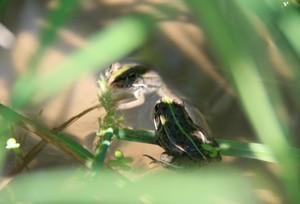 田んぼの中のカエル