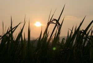 稲穂の間に沈む太陽