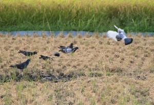 田んぼの中の鳩
