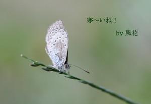 草の先のシジミチョウ