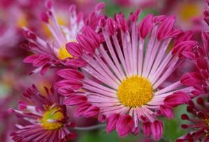 ピンクのスプレー菊