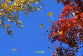 舞うイチョウの葉