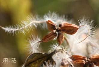 ツル植物の種