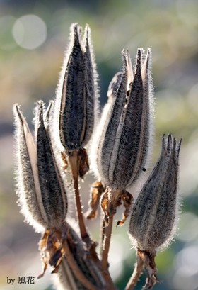 花オクラの種