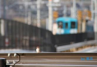 スズメさんと電車