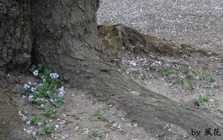 大きな桜の根元