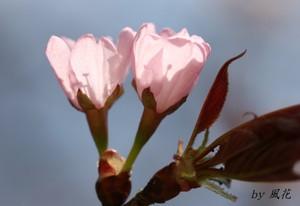 咲き始めの山桜
