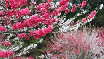 山裾の花桃