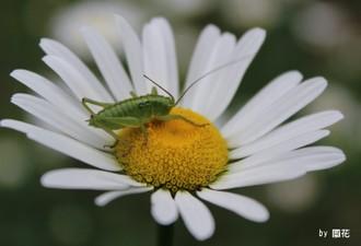 除虫菊とツユムシ