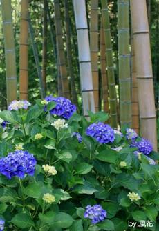 竹林とアジサイ