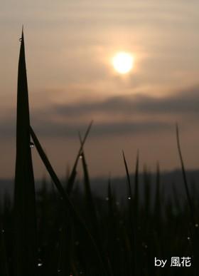 稲越しの太陽