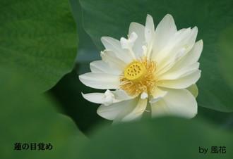 白い八重咲きのハス