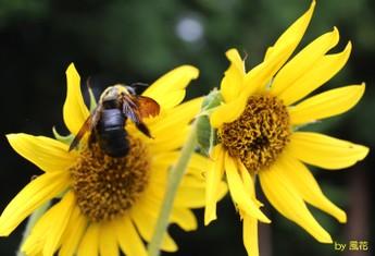 ひまわりとクマバチ