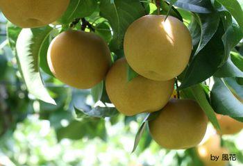 収穫を待つ梨