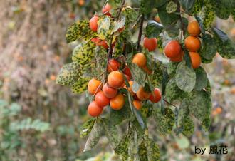 垂れ下がる柿