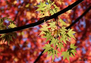 天井の紅葉