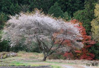 四季桜咲く