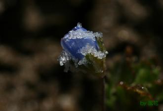 氷が付くオオイヌノフグリ