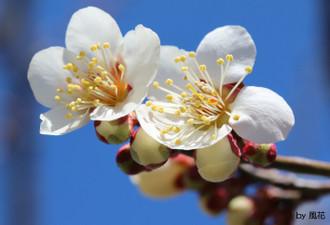 元気いっぱい咲く梅の花