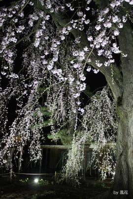 風にゆれる枝垂れ桜