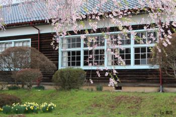 木造校舎と桜