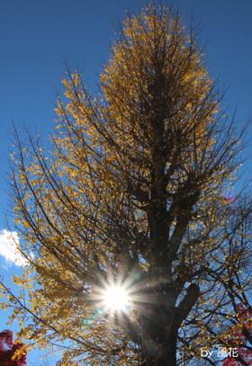 大きなイチョウの樹