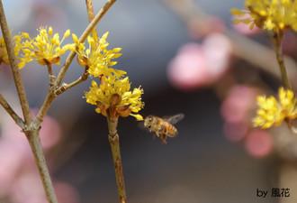 サンシュユとミツバチ