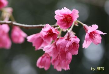 風に吹かれる桜