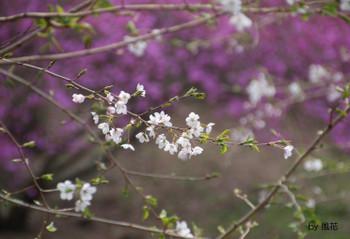 そっと咲く桜