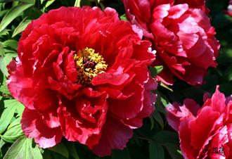 赤いボタンの花