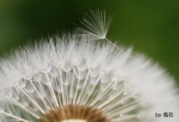 たんぽぽの綿毛