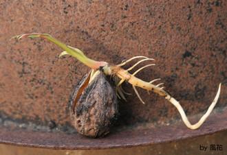 芽を出したクルミ