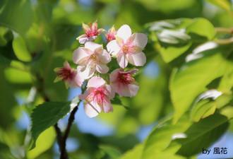 二度咲きの桜