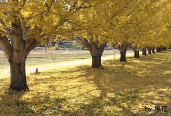 イチョウと黄色の絨毯